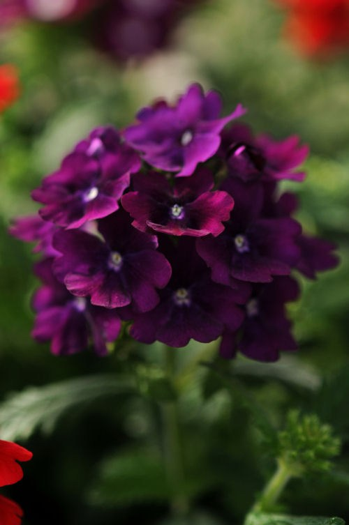 verbena_quartz_xp_purple
