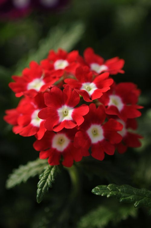 verbena_quartz_xp_red_with_eye