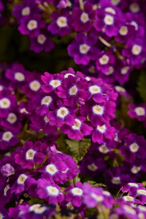 verbena_quartz_xp_violet_with_eye