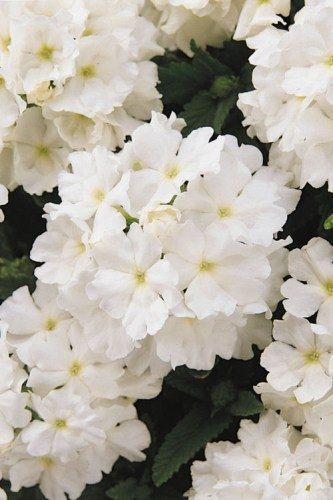 verbena_quartz_xp_white