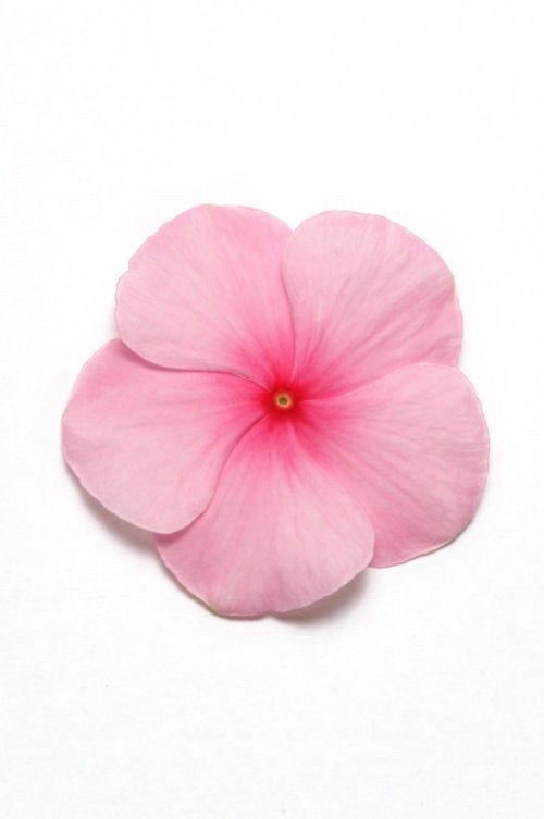 vinca_pacifica_xp_blush