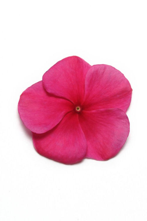 vinca_pacifica_xp_burgundy