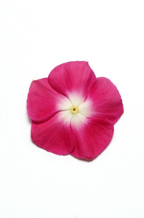 vinca_pacifica_xp_burgundy_halo