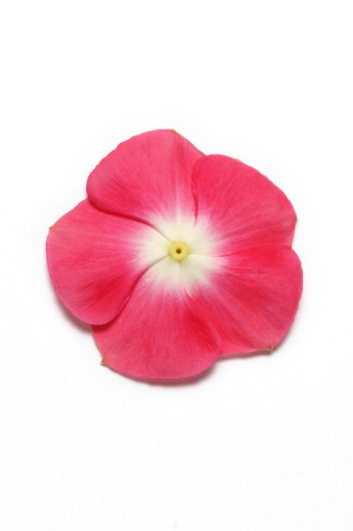 vinca_pacifica_xp_cherry_red_halo