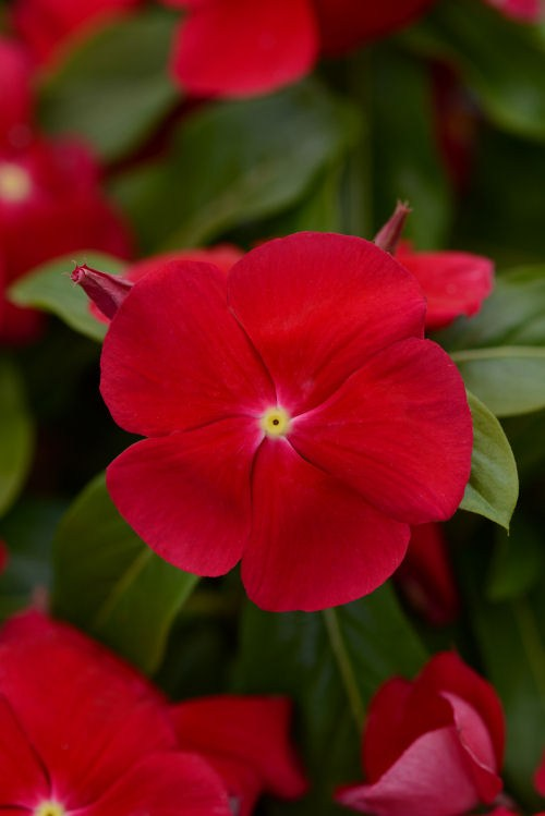 vinca_titan_really_red