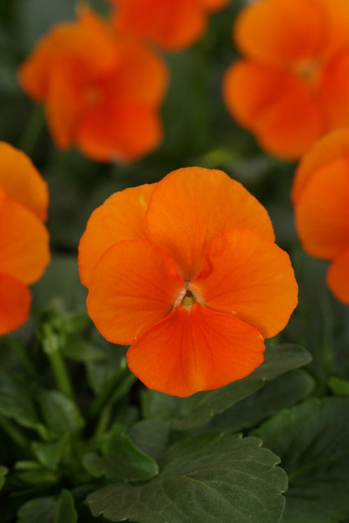 viola_sorbet_xp_deep_orange