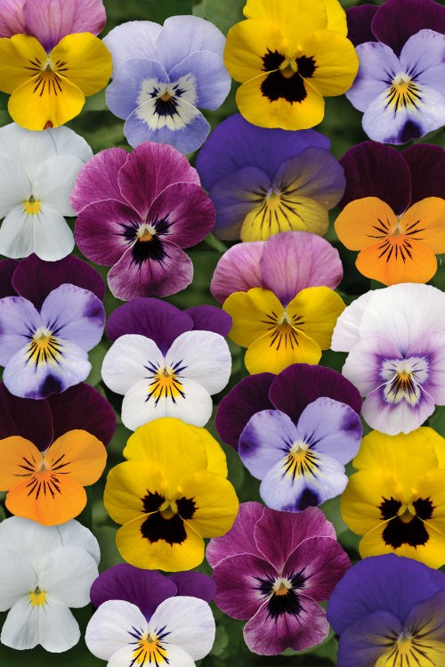 viola_sorbet_xp_spring_select_mix